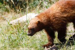 Wolverine Gulo gulo. Also referred to as the glutton, carcajou, skunk bear, or quickhatch. Carnivore, more closely resembling a small bear Stock Image