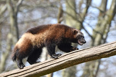Wolverine (gulo gulo). Wolverine climbing an old tree trunk in its natural habitat stock images