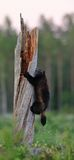Wolverine (gulo gulo) climbing a tree. At night Royalty Free Stock Photography