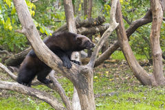 Wolverine (Gulo gulo). Is climbing on a tree Stock Image