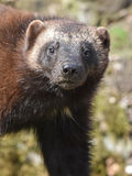 Wolverine (gulo gulo). Closeup portrait of the wolverine seen from the front royalty free stock photography