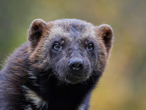 Wolverine (Gulo gulo). Closeup portrait of the Wolverine with vegetaion in the background stock photography