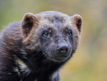 Wolverine Gulo gulo. Closeup portrait of the Wolverine with vegetaion in the background royalty free stock images