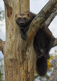 The wolverine Gulo gulo. Color photo of  The wolverine Stock Image
