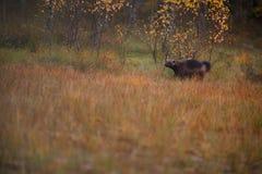 Wolverine Gulo gulo in finnish tajga. Border between Finland and Russia Karelia Royalty Free Stock Photography