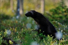 Wolverine (gulo gulo) in the forest. At summer Royalty Free Stock Photography