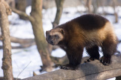 Wolverine (Gulo gulo gulo). European wolverine in the snow Royalty Free Stock Photography