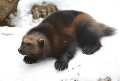 Wolverine, Gulo gulo Gulo is Latin for `glutton`. Also referred to as glutton, carcajou, skunk bear, or quickhatch, on snow focus on muzzle royalty free stock photos