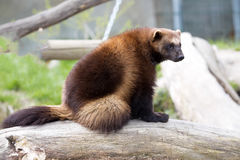 Wolverine, Gulo gulo, a huge beast Stock Images