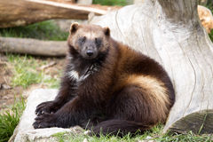 Wolverine, Gulo gulo, a huge beast Stock Photography