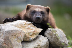Wolverine, Gulo gulo, a huge beast. One Wolverine, Gulo gulo, a huge beast stock photography