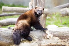 Wolverine, Gulo gulo, a huge beast Stock Photos