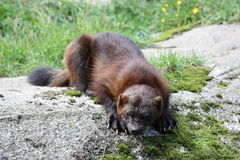Wolverine.  Gulo gulo. Meeting with the wolverine in the forest Stock Image