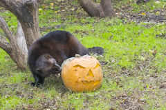 Wolverine (Gulo gulo). Is playing and eating a Halloween pumpkin Stock Photos