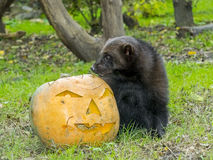 Wolverine (Gulo gulo). Is playing and eating a Halloween pumpkin Stock Images