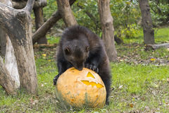 Wolverine (Gulo gulo). Is playing and eating a Halloween pumpkin Royalty Free Stock Photos