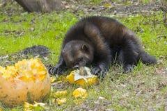 Wolverine (Gulo gulo) Royalty Free Stock Photo