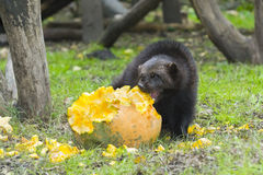 Wolverine (Gulo gulo) Stock Photo