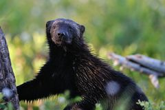 Wolverine (gulo gulo) portrait Stock Images