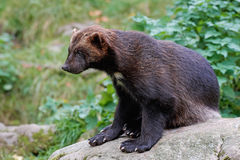 Wolverine Gulo gulo. Wolverine resting on a rock in its natural habitat Royalty Free Stock Images