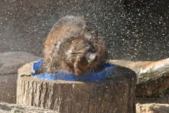 Wolverine Gulo gulo shakes off after bathing. Funny Wolverine Gulo gulo shakes off after bathing Stock Image