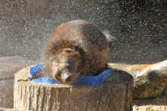 Wolverine Gulo gulo shakes off after bathing. Wild Wolverine Gulo gulo shakes off after bathing Royalty Free Stock Images