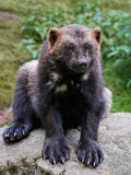 Wolverine Gulo gulo. Wolverine sitting on a rock with vegetaion in the background Royalty Free Stock Photos