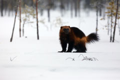 The wolverine Gulo gulo on the snow. In nordic forest Stock Image