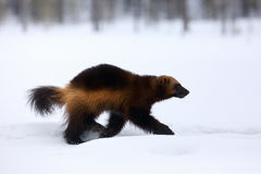 The wolverine Gulo gulo on the snow. In a snowy taiga royalty free stock images