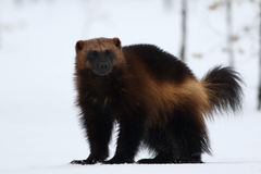 Wolverine gulo gulo with snow and white background. In nordic wood stock photo
