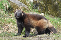 Wolverine (gulo gulo). Wolverine standing in its natural habitat royalty free stock photo