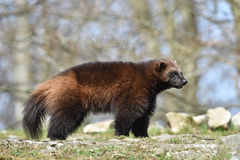 Wolverine (gulo gulo). Wolverine standing in its natural habitat stock photo