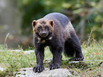 Wolverine (Gulo gulo). Wolverine standing on a rock with vegetaion in the background stock photography