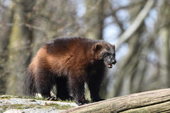 Wolverine (gulo gulo) Stock Images