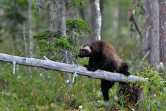 Wolverine (gulo gulo) on a tree. At summer evening Stock Photos