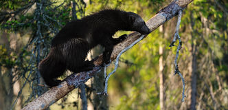 Wolverine (gulo gulo) on a tree. At summertime Stock Image