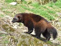 Wolverine (gulo gulo). Wolverine walking around in its natural habitat stock photo