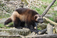 Wolverine (gulo gulo) Royalty Free Stock Images
