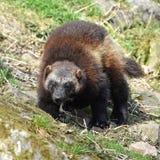 Wolverine (gulo gulo) Royalty Free Stock Image