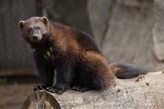 Wolverine Gulo gulo. Also known as the glutton stock image