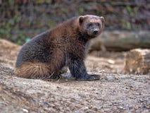Wolverine Gulogulo, är ett mycket lättrörligt starkt fä royaltyfria foton