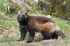 Wolverine (gulogulo) Royaltyfri Foto