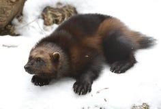 Wolverine GuloguloGulo är latinsk för `-frossare`, royaltyfria foton