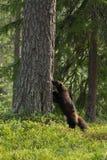 Wolverine het snuiven Stock Fotografie