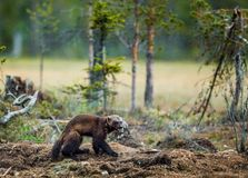 Wolverine i lös natur arkivbild