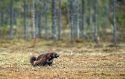 Wolverine i lös natur arkivbilder