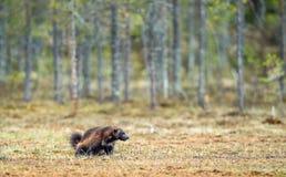 Wolverine i lös natur arkivfoto