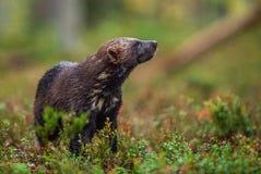 Wolverine i lös natur höstlig skog royaltyfri fotografi