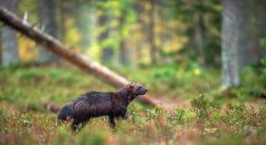 Wolverine i lös natur naturlig livsmiljö royaltyfria bilder