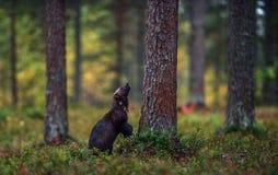 Wolverine i lös natur naturlig livsmiljö royaltyfri foto